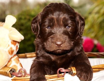 Choc puppy